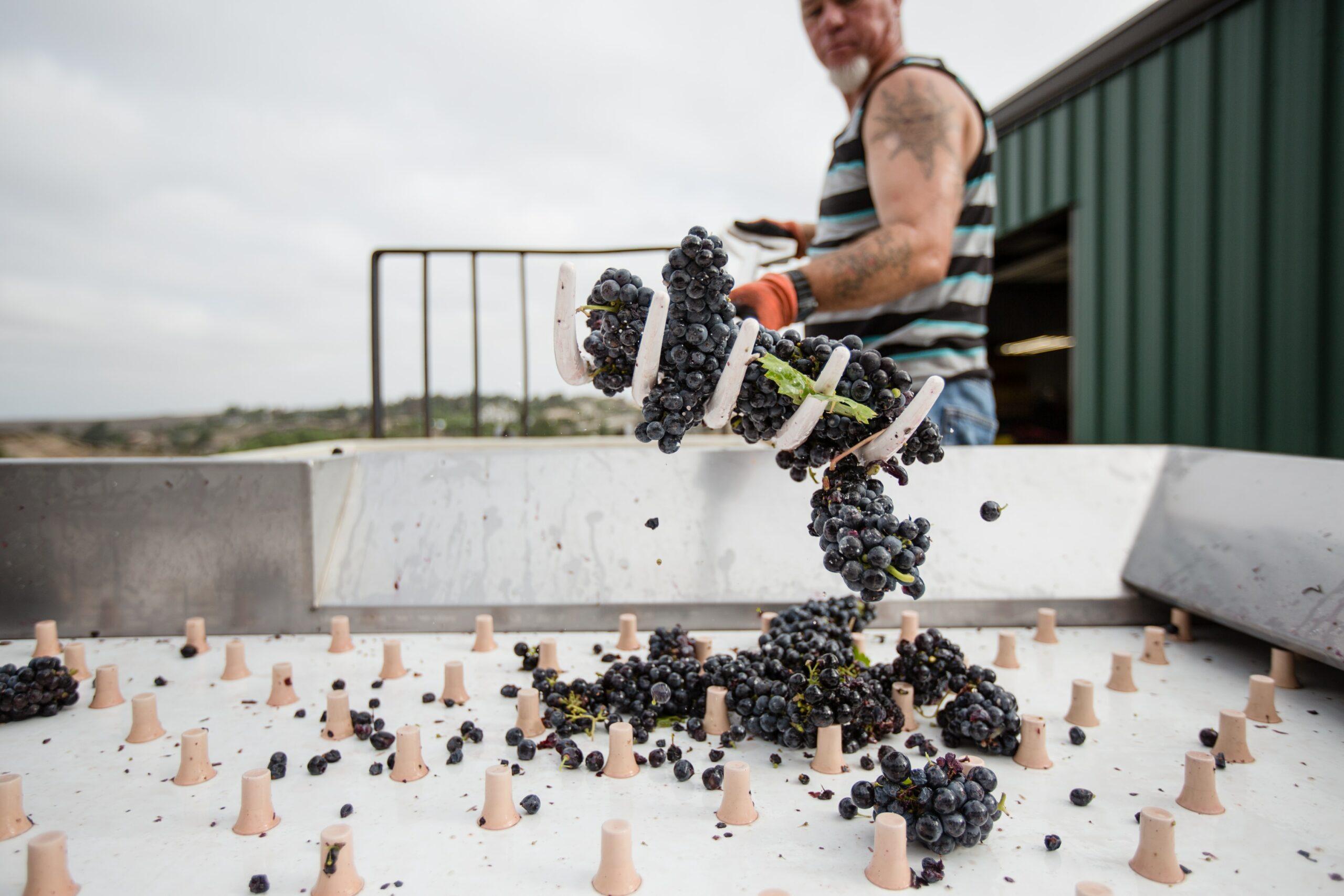 Weingartenarbeit Traubenarbeit